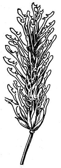 Фуркатный ячмень  (вместо остей лопастные придатки)