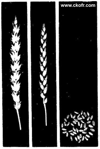 мягкая пшеница Саратовская  Яровая мягкая пшеница Саратовская 29
